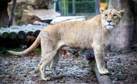 Il ligre, frutto dell'incrocio tra un leone maschio e una tigre femmina, è uno dei più famosi animali ibridi.