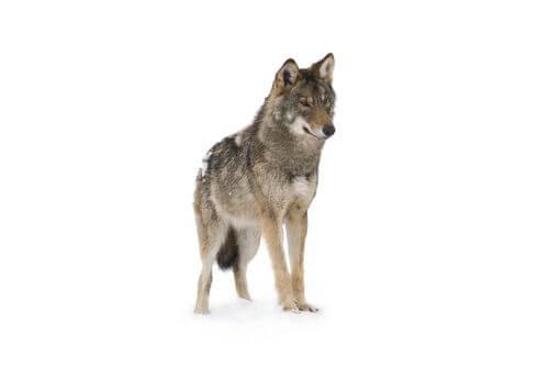 Il lupo e le sue straordinarie caratteristiche atletiche