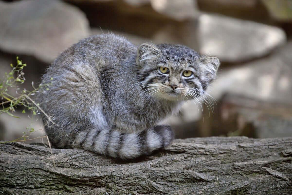 Esemplare di manul: felini selvatici poco conosciuti.