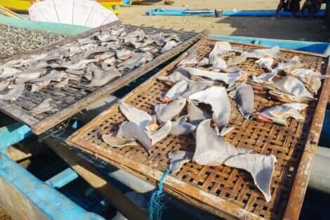 In Asia le pinne di squalo sono molto richieste per la preparazione di una zuppa tradizionale.