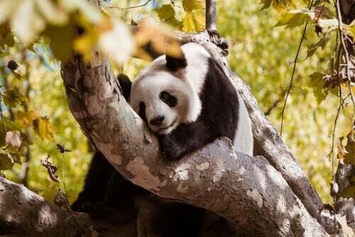 Panda su un albero.