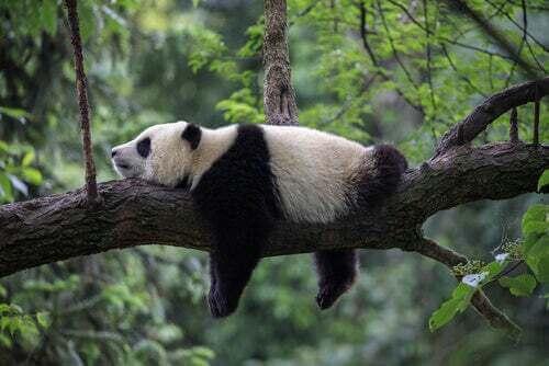 Panda su un ramo.
