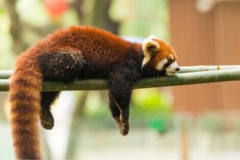 I panda rossi dormono abitualmente distesi sui rami degli alberi.
