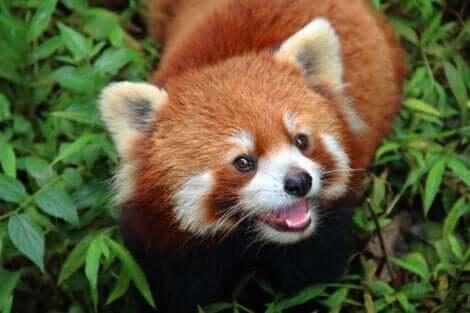 I panda rossi vivono nei baschi di bambù sulle montagne dell'Asia.