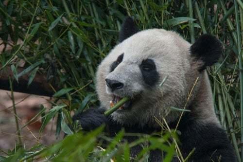 La dieta del panda gigante è davvero solo bambù?