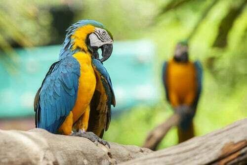Coppia di pappagalli.