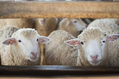 Allevamento di pecore.