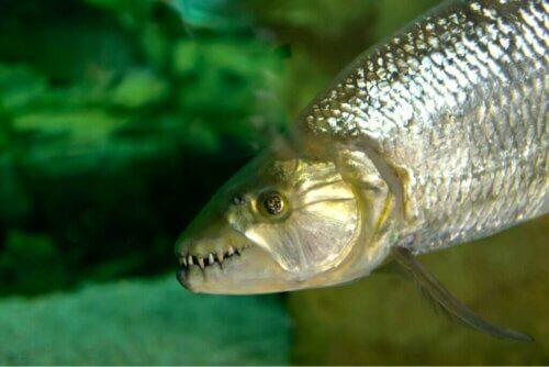 Il pesce tigre: titano africano d'acqua dolce