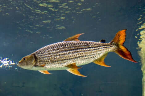 Gli esemplari più grandi di pesce tigre cacciano da soli.