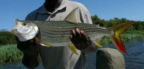 Per garantire la sopravvivenza del pesce tigre, le autorità incoraggiano la pesca di cattura e liberazione.