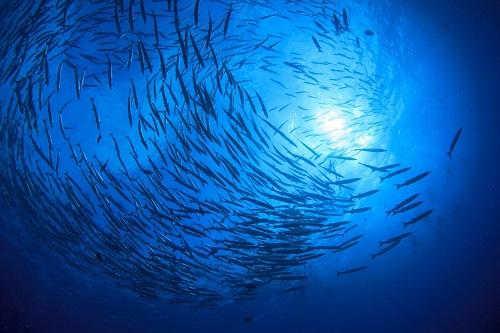 Banco di pesci nell'oceano.