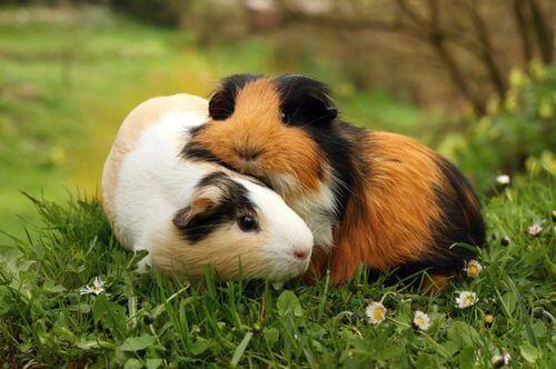 Il verso dei porcellini d'India: perché squittiscono?