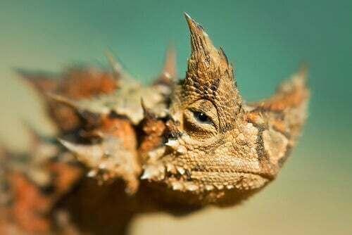 Diavolo spinoso: informazioni e caratteristiche