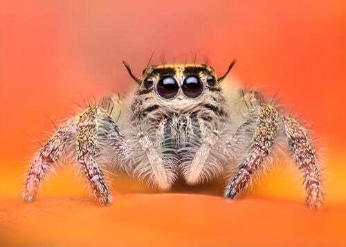 Il ragno saltatore: tra i ragni più adorabili del mondo animale