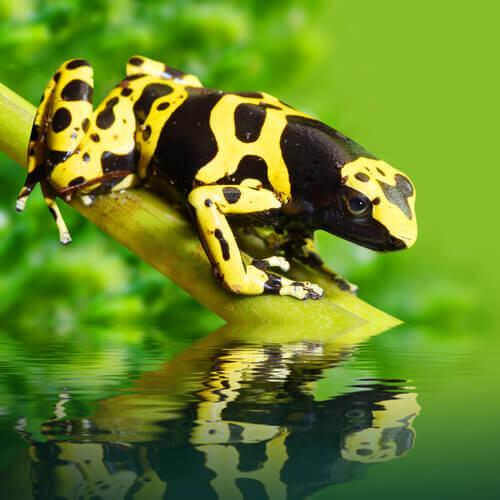 Rana freccia dalle bande gialle, una specie velenosa