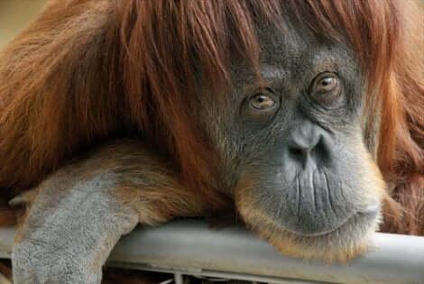 Il dibattito che riguarda la presenza di emozioni e sentimenti negli animali è ancora aperto. Scimmia con aria triste.