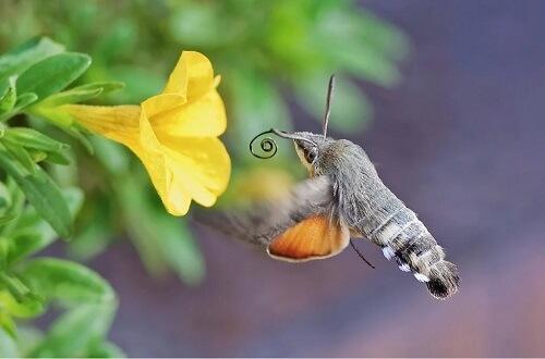 La sfinge colibrì: che ruolo svolge nell'impollinazione?