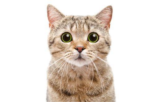 Sguardo di un gatto e interazione sociale.