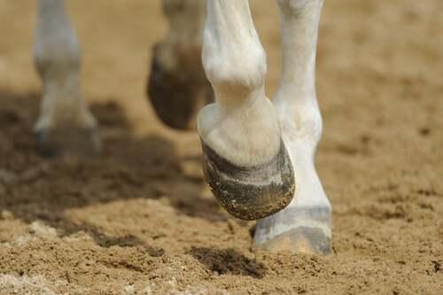 Primo piano dello zoccolo di un cavallo.