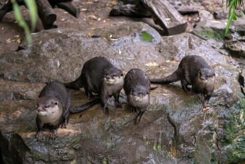 Gruppo di lontre nane nel loro habitat naturale.