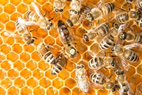 Api operaie e ape regina al lavoro in un alveare.