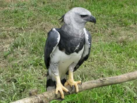 Aquila arpia appollaiata.