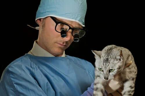 Veterinario che esegue un esame fisico ad un gatto con problemi respiratori.