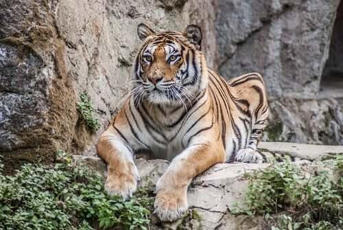 Attacchi di tigri all'uomo: pochi ma dagli esiti drammatici