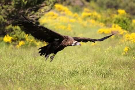 Avvoltoio monaco in volo.