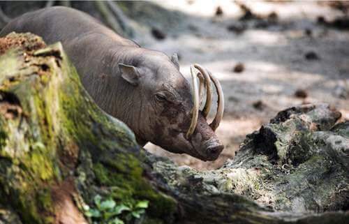 Il babirussa: origini e habitat di un bizzarro maiale