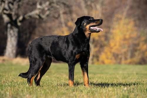Un cane beauceron.