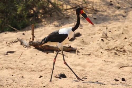 Il becco a sella africano: caratteristiche e habitat
