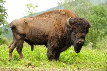 Il bisonte americano: il simbolo delle Grandi Pianure