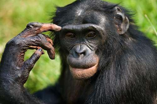 Bonobo nella foresta.