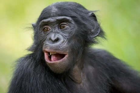 Primo piano di esemplare di bonobo maschio.