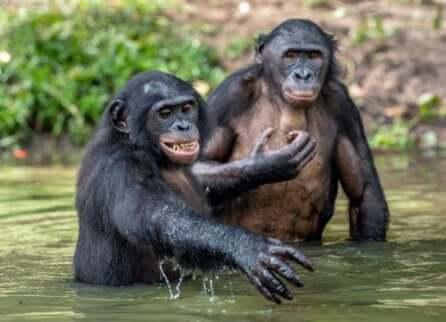 Due esemplari di bonobo nuotano in acqua.