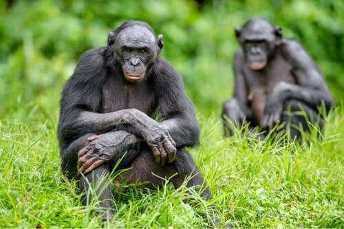 5 differenze tra gli scimpanzé e i bonobo