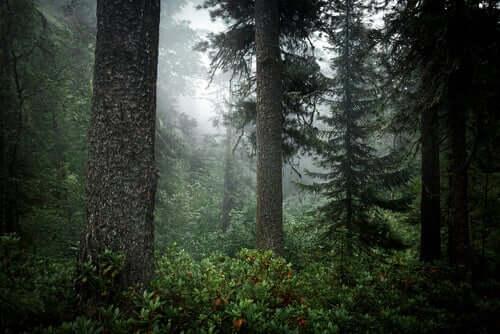 Taiga, bosco con la nebbia.
