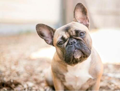Tipi di bulldog a confronto: inglese e francese
