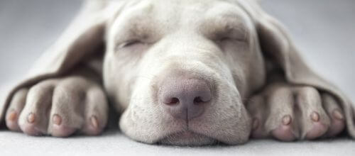 Cause narcolessia canina. Cane che dorme sul pavimento.