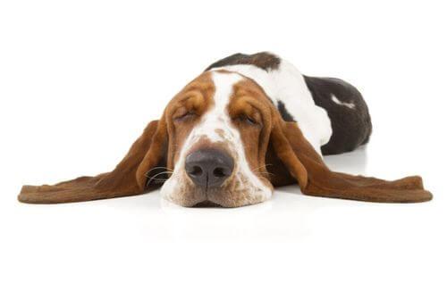 Narcolessia canina: cos'è e cosa fare?