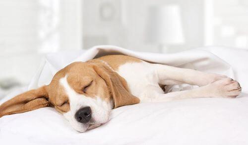 Cane che dorme su una coperta.