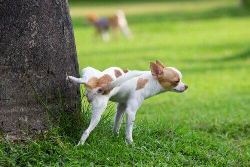Tre malattie dell'apparato riproduttivo che possono colpire un cane