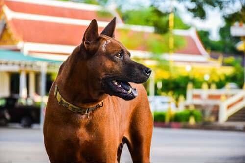Razze di cani da guardia. Cane marrone vigile.