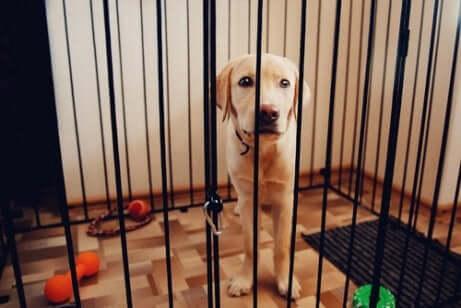 Cane all'interno di un recinto dentro casa con giocattoli per terra.