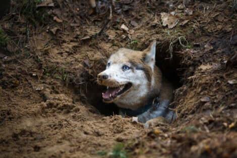 Cane che ha scavato una buca.