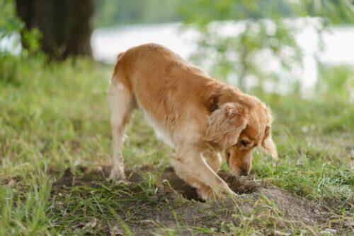 Perché i cani seppelliscono il proprio cibo?