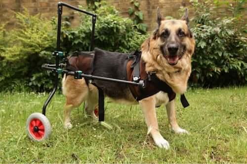 Malattie autoimmuni nei cani: diagnosi e trattamenti