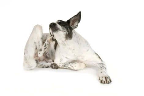 Pelle irritata nei cani: cane che si gratta.