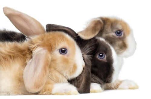 Caratteristiche del coniglio ariete.